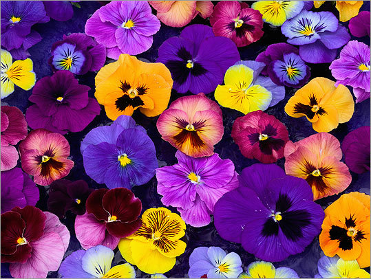 Fall Pansy Sale Ends Monday, Nov 16